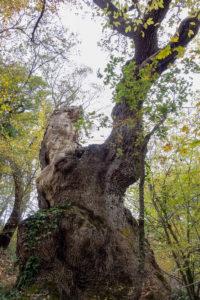 grande quercia san buono
